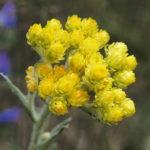 smil písečný helichrysum arenarium, byliny abecedně S