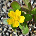 šrucha obecná, portulaca oleracea, byliny abecedně S