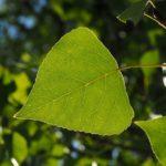 topol černý, Populus nigra, byliny abecedně t-v