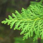 túje, zerav západní, Thuja occidentalis, byliny abecedně t-v