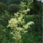 tužebník jilmový, Filipendula ulmaria, byliny abecedně t-v