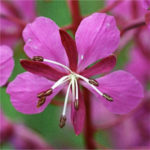 vrbka úzkolistá, Chamaerion angustifolium, byliny abecedně t-v