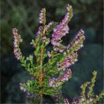 vřes obecný, Calluna vulgaris, byliny abecedně t-v