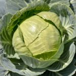zelí, brukev zelná, Brassica oleracea, léčivky y-z